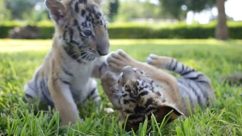 Video: Tigerbabies verzücken Mexiko