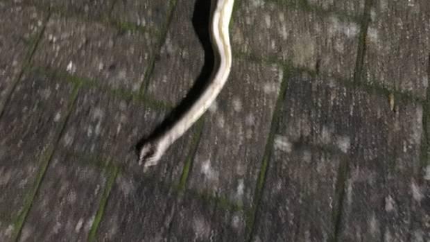 Nachrichten aus Deutschland: Eine tote Schlange liegt in einer Garageneinfahrt