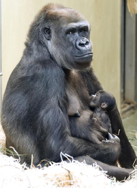 Gorilla-Mutter Bibi hält ihrim Zoo Berlin geborenes Jungtier im Arm